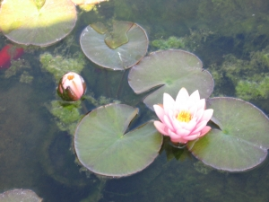 Lotus, energy, healing, passion, weight loss